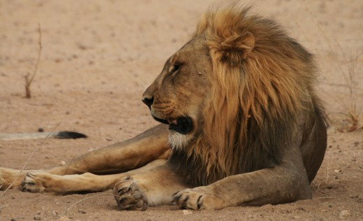 Lion in the Hoanib Camp