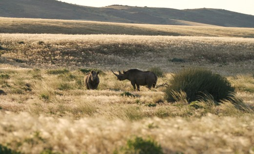 Rhinos in Damaraland